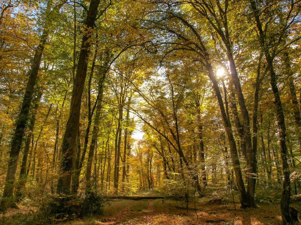 La Forêt de Tronçais, vue sur les arbres d'une des plus grande forêt de l'allier en Auvergne