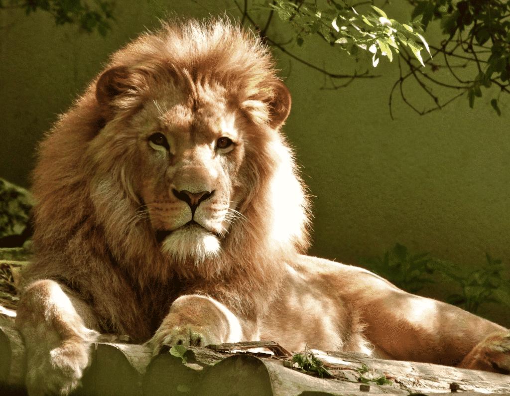 vue d'un lion allongé sur un rocher.