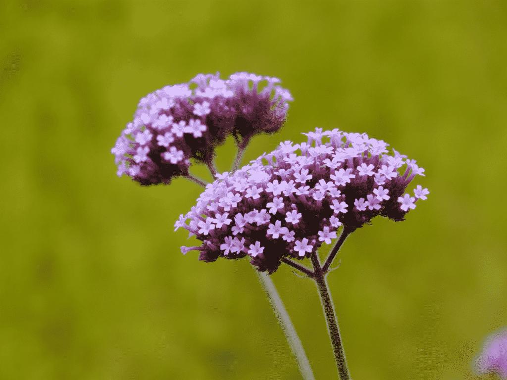 Fleur de verveine cultivée a Yssingeaux
