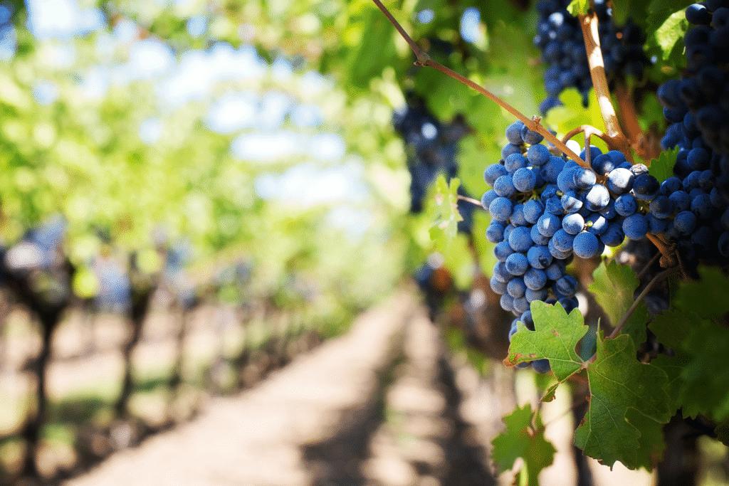 Vue sur une grappe de raisin dans un vignoble.